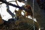 leopardo de guardia !!