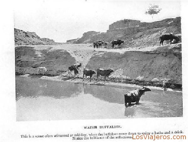 Buffalos in the Nile - Egypt Búfalos en el Nilo - Egipto