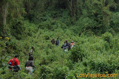 Trekking a los gorilas- Montañas Virunga - Ruanda Gorilla trekking -Virunga Mountains - Rwanda