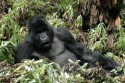 Go to big photo: Silverback gorillas -Volcans National Park