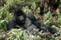 Ir a Foto: Gorilas -Parque Nacional de Los Volcanes  Go to Photo: Silverback gorillas -Volcans National Park