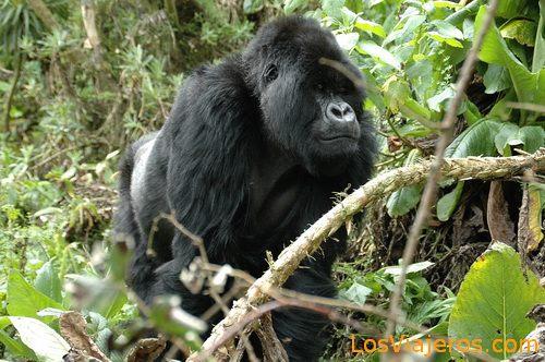 Gorilla silverback approaching - Rwanda Gorila de Espalda Plateada -Parque Nacional de Los Volcanes - Ruanda