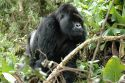 Go to big photo: Gorilla silverback approaching