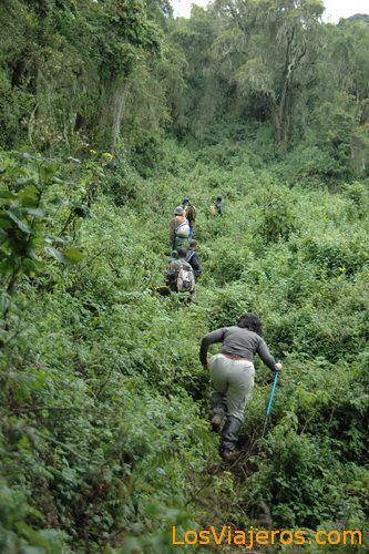 Gorilla trekking -Volcans National Park - Rwanda Trekking de los Gorilas -Parque Nacional de Los Volcanes - Ruanda