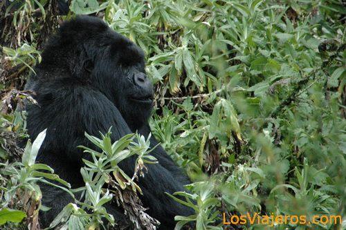 Silverback Gorilla -Volcans National Park - Rwanda Gorila Macho -Parque Nacional de Los Volcanes - Ruanda