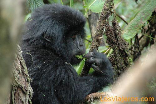 Baby Gorilla -Volcans National Park - Rwanda Pequeño Gorila -Parque Nacional de Los Volcanes - Ruanda
