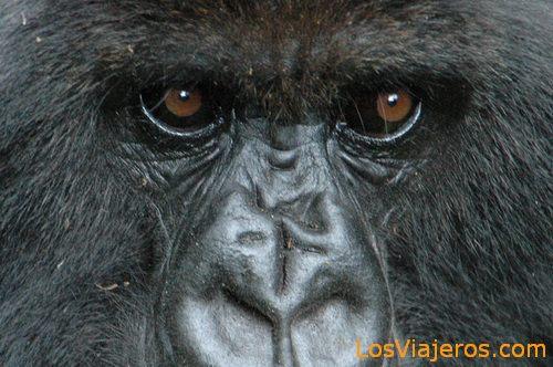 Gorilla Eyes -Volcans National Park - Rwanda Mirada de Gorilas -Parque Nacional de Los Volcanes - Ruanda