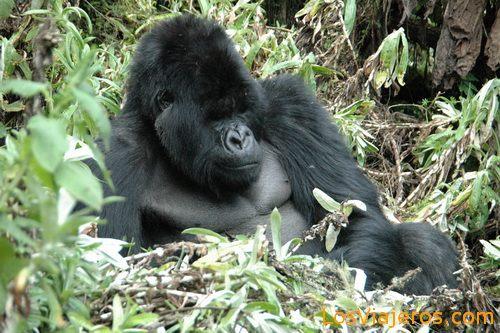 Gorillas -Volcans National Park - Rwanda Gorila espalda plateada -Parque Nacional de Los Volcanes - Ruanda
