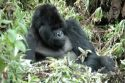 Go to big photo: Gorillas -Volcans National Park