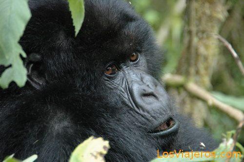 Gorillas -Volcans National Park - Rwanda Gorilas -Parque Nacional de Los Volcanes - Ruanda