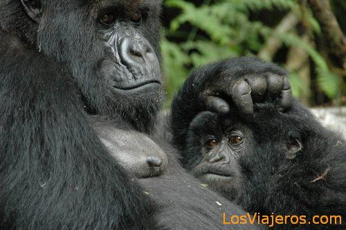 Mother Gorillas - Rwanda Gorila hembra -Parque Nacional de Los Volcanes - Ruanda