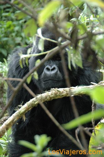 Gorillas - Rwanda Gran gorila espalda plateada - Ruanda