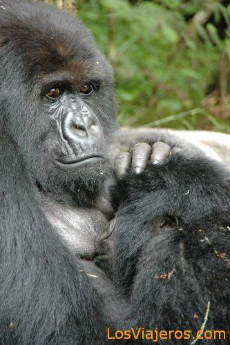 Gorilla Mother -Volcans National Park - Rwanda Mama Gorila -Parque Nacional de Los Volcanes - Ruanda