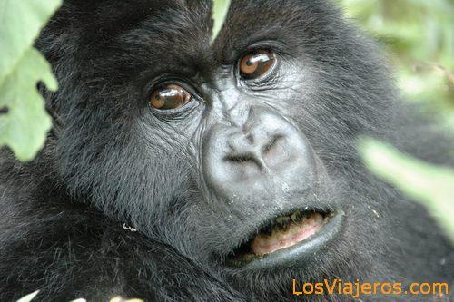 Gorilla Face -Volcans National Park - Rwanda Primer plano de Gorila -Parque Nacional de Los Volcanes - Ruanda