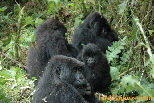 Gorillas -Volcans National Park - Rwanda Familia de Gorilas -Parque Nacional de Los Volcanes - Ruanda
