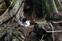 Go to big photo: White-Tailed Tropicbird