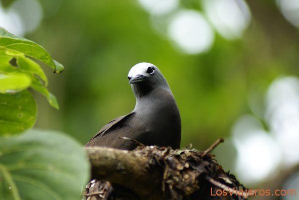 Seychelles endemic bird Pájaro de las Seychelles