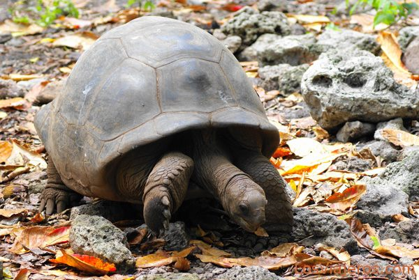 Tortuga gigante de Seychelles Seychelles giant tortoise