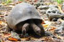 Go to big photo: Seychelles giant tortoise