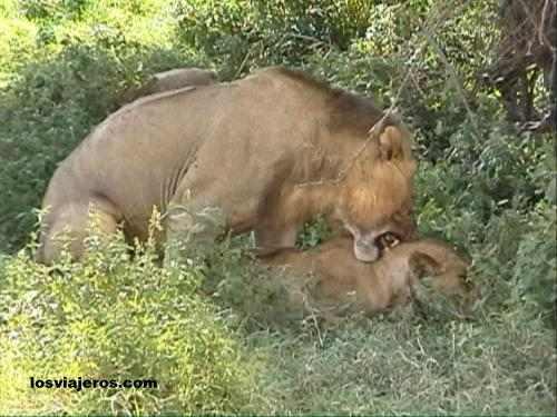Leones de Nakuru - Kenia