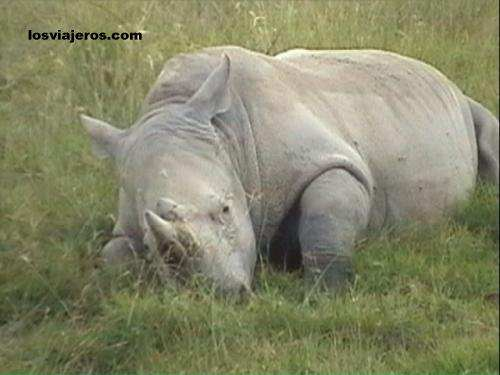 Sleeping rhino in Nakuru National Park. - Kenya Rinoceronte durmiendo - Kenia