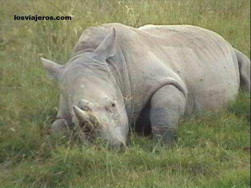 Sleeping rhino in Nakuru National Park. - Kenya Rinoceronte durmiendo - Kenia