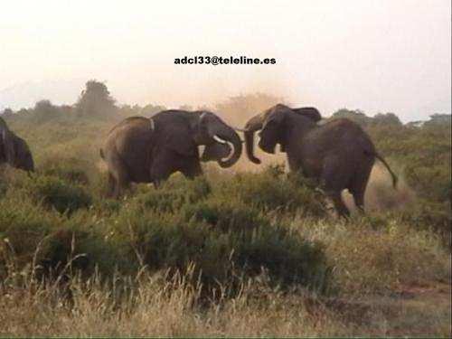 Elephants Fighting - Kenya Elefantes luchando en Samburu - Kenia