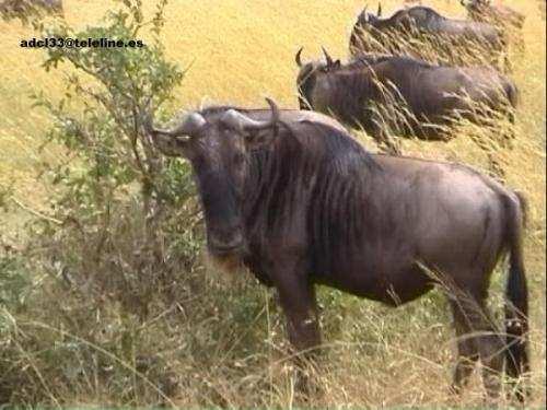 Wildbest - Kenya Ñus - Kenia