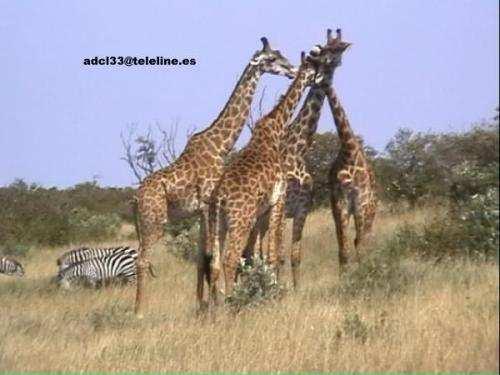 Giraffes - Kenya Jirafas en Maasai Mara - Kenia