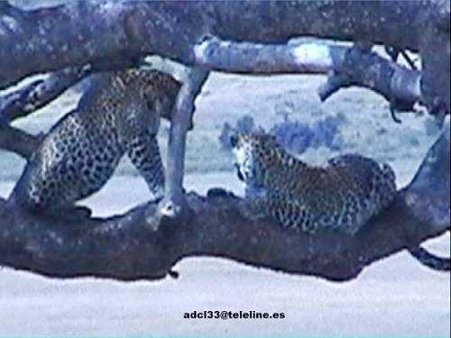 Dos leopardos sobre un arbol - Kenia