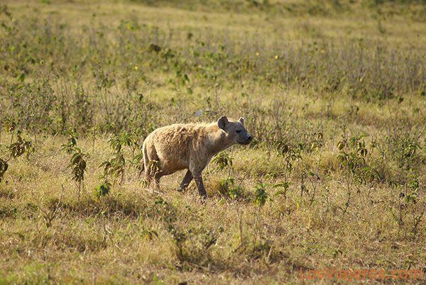 Hiena manchada - Amboseli - Kenia Spotted hyena - Amboseli - Kenya