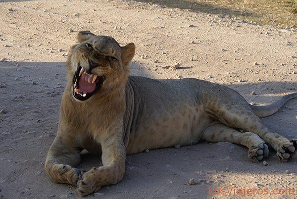 Eso es un bostezo... - Kenia Yawning - Kenya