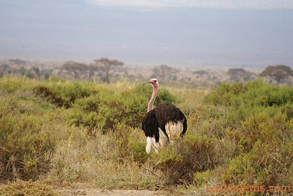 Avestruz macho en Amboseli - Kenia Male Ostrich - Amboseli - Kenya