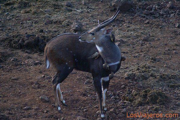 Sitatunga - Montes Aberdares - Kenia Sitatunga or Marshbuck, The Aberdares. - Kenya
