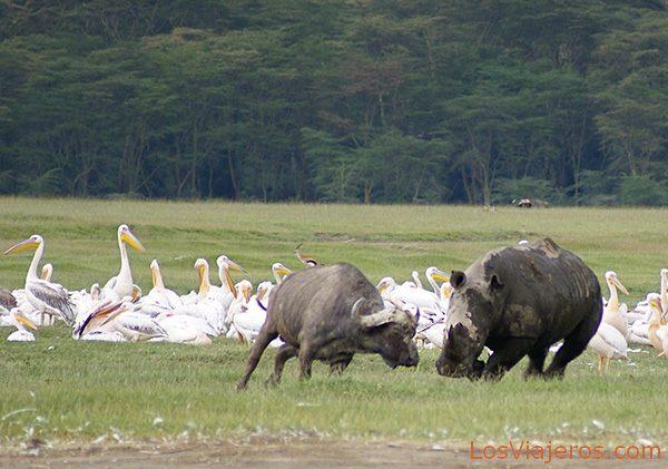 Rinoceronte blanco atacando a un joven búfalo - Lago Nakuru - Kenia White rhino charging a young buffalo - Kenya