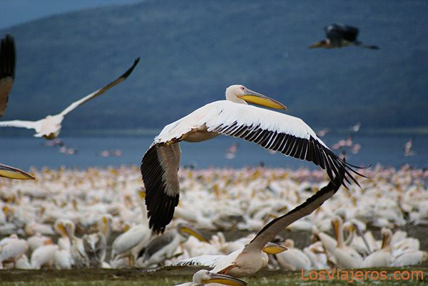 White Pelican flying off - Nakuru Lake - Kenya Pelícano levantando el vuelo - Lago Nakuru - Kenia