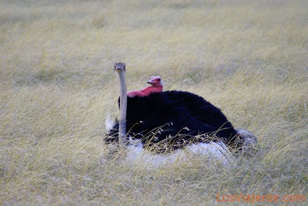 Avestruces apareándose - Masai Mara - Kenia Ostriches mate - Kenya