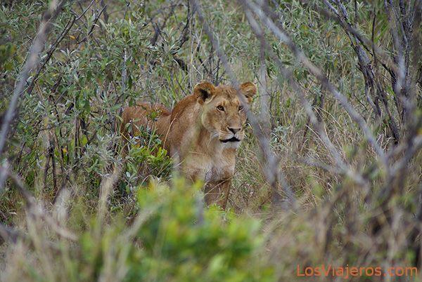 Mamá llama a su cría - Kenia Lioness calling for her cub - Kenya