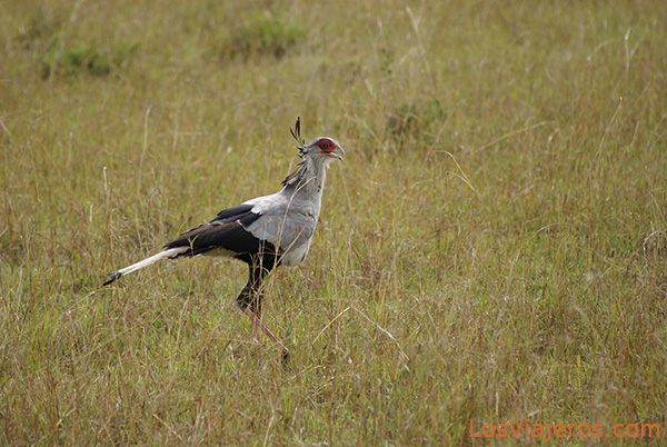 Secretario - Masai Mara - Kenia Secretary bird - Masai Mara - Kenya