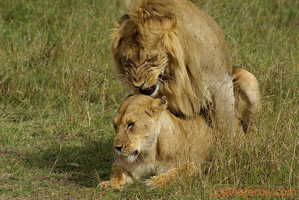 Lions during a mating bout - Kenya Leones apareándose - Masai Mara - Kenia