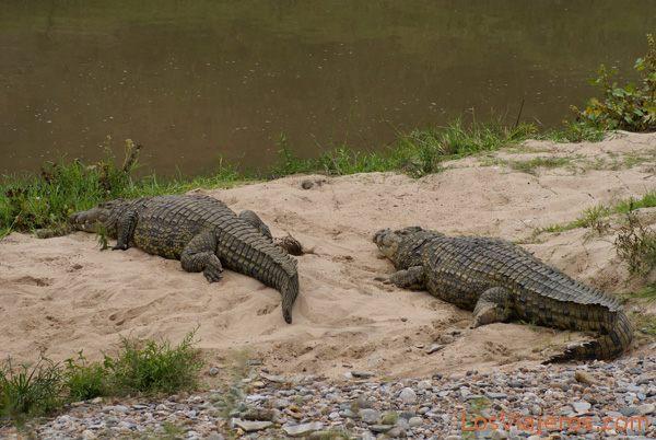 Cocodrilos en el afluente Talek del río Mara - Kenia Crocodiles in Talek River - Kenya