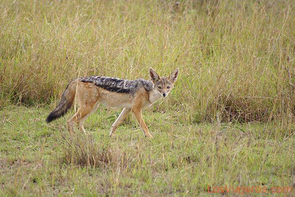 Chacal de lomo negro - Masai Mara - Kenia Black-backed Jackal - Kenya
