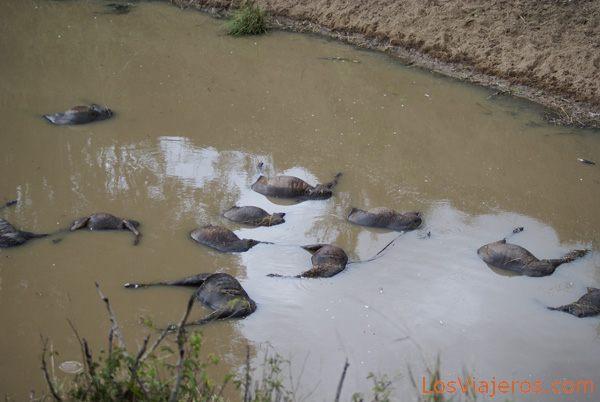 Wildebeest carcass floating on the Mara river - Kenya Cadáveres en el río Mara - Kenia