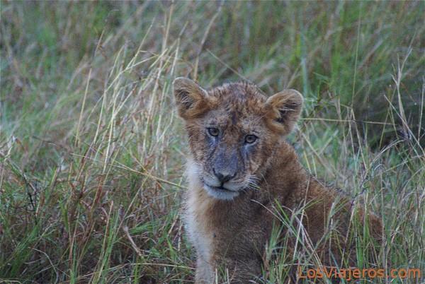 Cachorro posando en Masai Mara - Kenia Lion cub posing - Kenya
