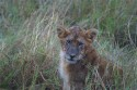 Ir a Foto: Cachorro posando en Masai Mara  Go to Photo: Lion cub posing
