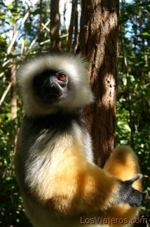 Verreaux sifaka -Lemur - Madagascar Verreaux sifaka -Lemur - Madagascar