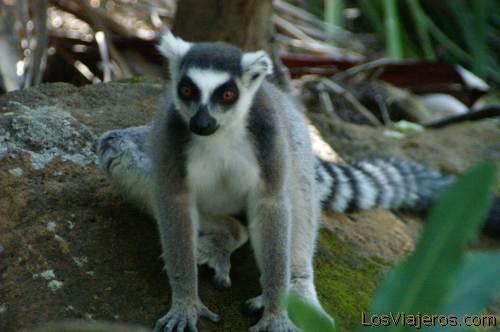 Maki or ring tailed lemur - Madagascar Maki o lemur de cola anillada - Madagascar