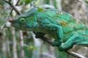 Ir a Foto: Camaleon de Parson - Madagascar  Go to Photo: Parson Chameleon - Madagascar