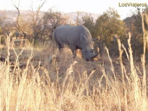 Real big rhinoceros at Pilanesberg reserve - South Africa Enorme rinoceronte en la reserva de Pilanesberg - Sud Africa