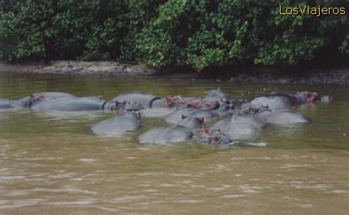 St. Lucia, hippos at the lagoon - South Africa Santa Lucía, hipopótamos en la Laguna - Sud Africa